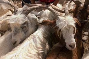 goats at Kashgar animal market, Xinjiang, China
